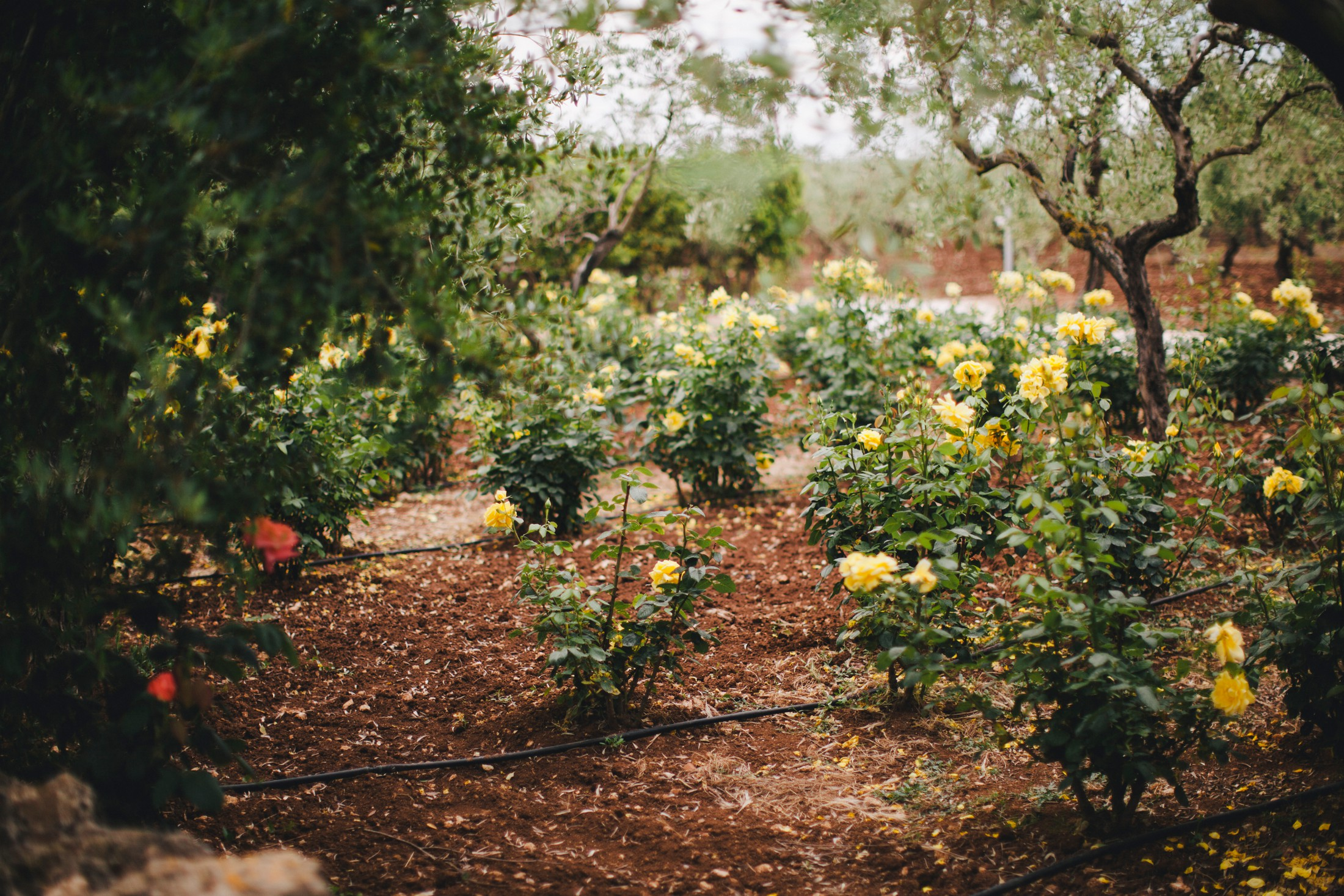 rose garden in masseria san domenico
