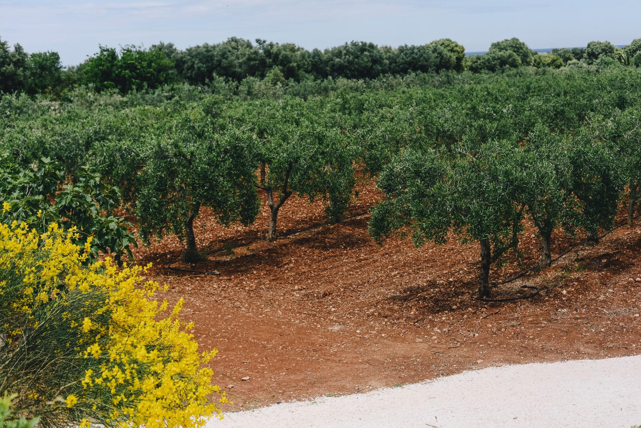 olive trees garden in masseria san domenico