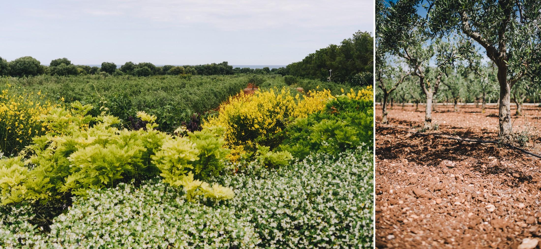 collage olive gardens in masseria san domenico