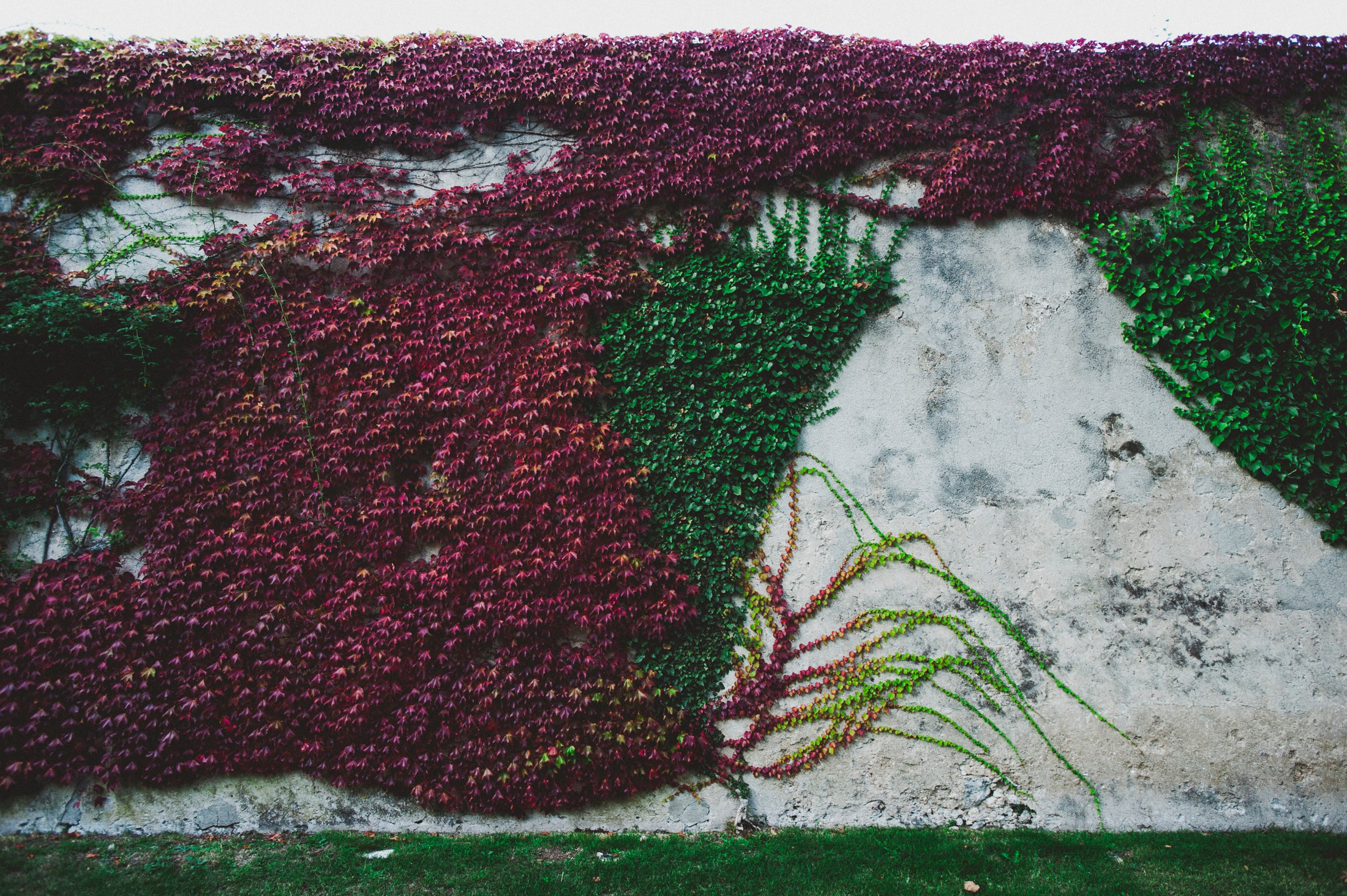wall covered by ivy leaves at villa cimbrone ravello